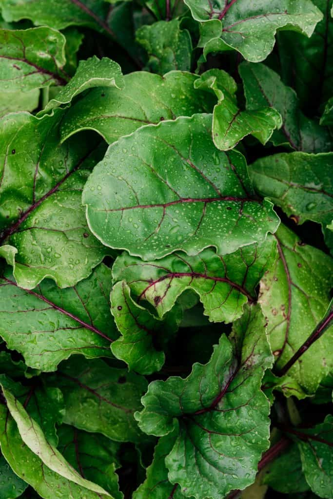 Close-up of beet greens at the farm