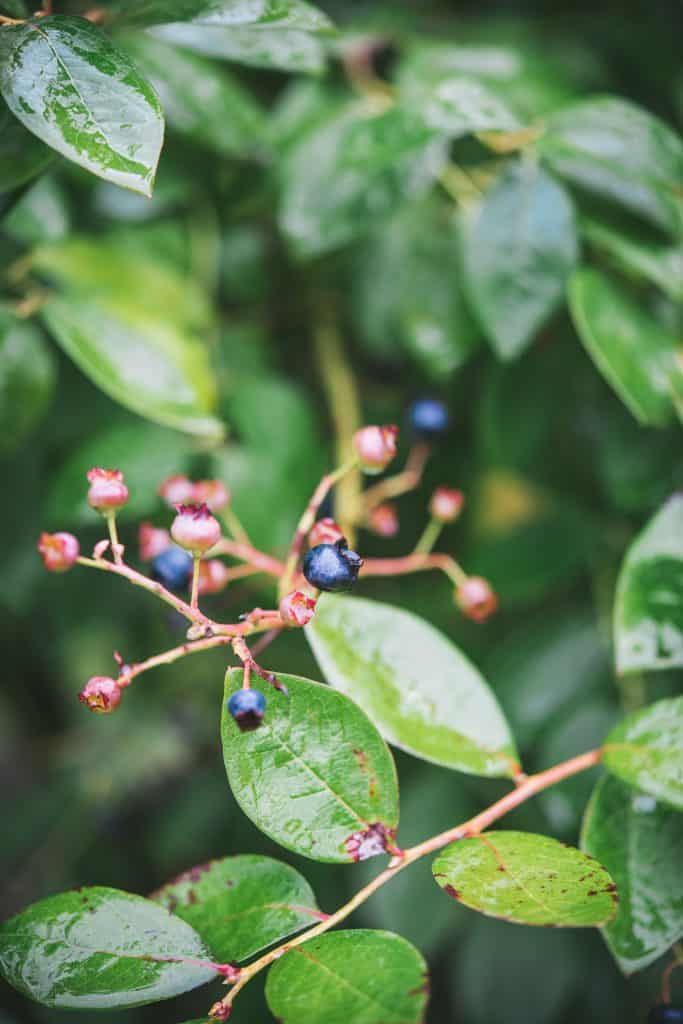 Close-up of berries on green branches at Cascadian Farms.