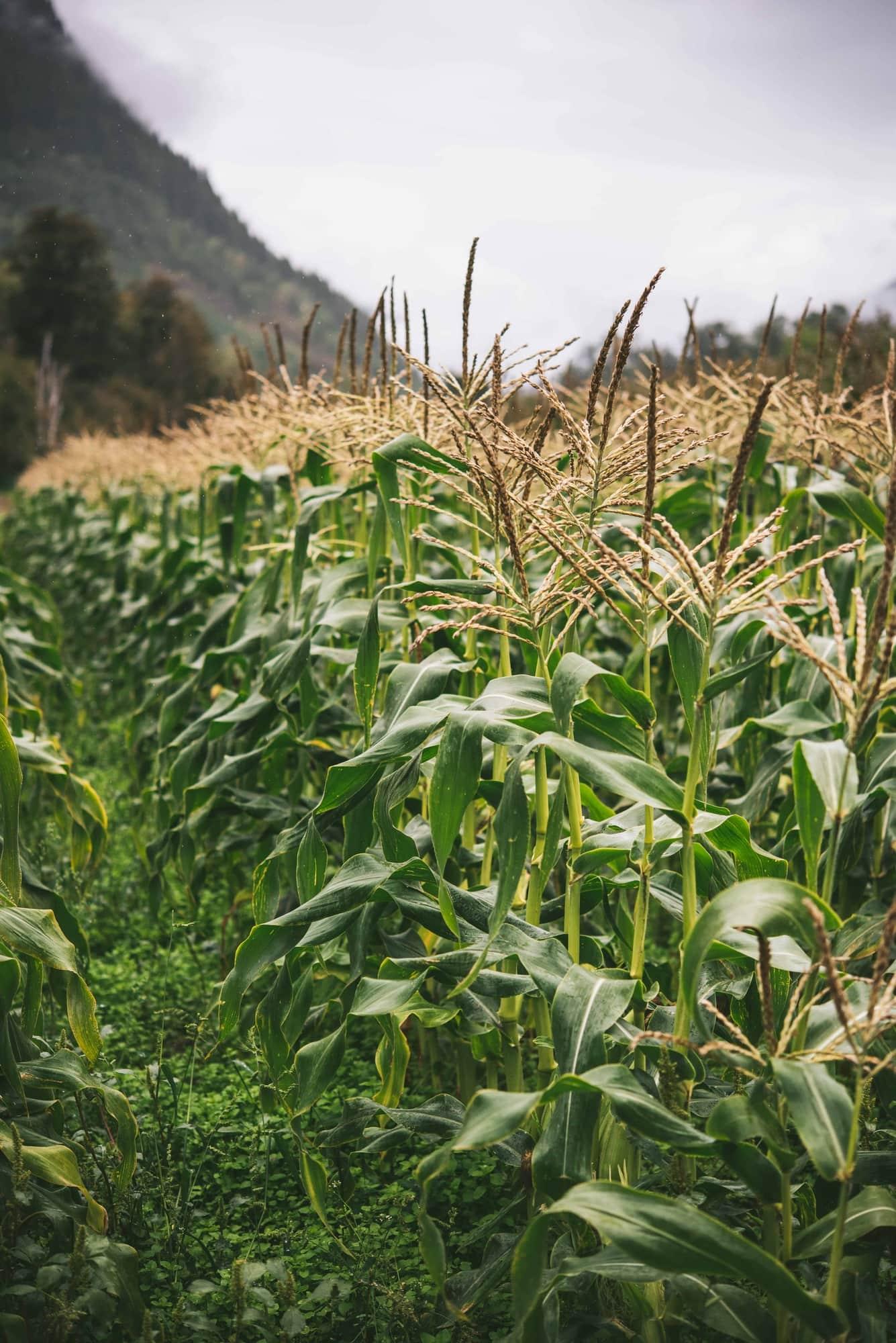 Corn field on rainy fall day