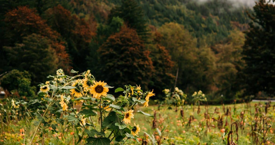 Sunflowers and pumpkins with mountains in the background on a rainy fall day