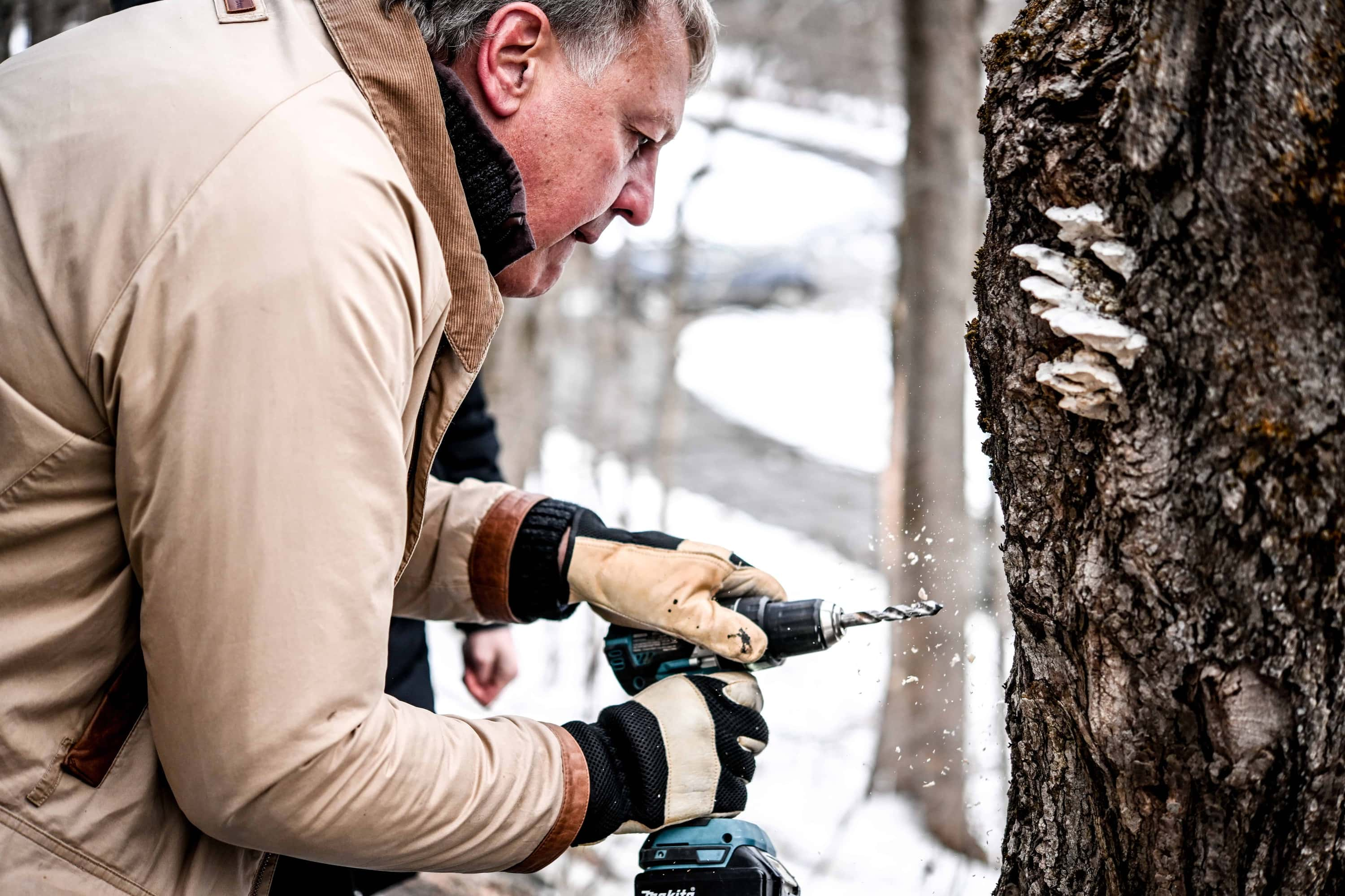 Close up of person drilling a hole into a maple tree to collect sap