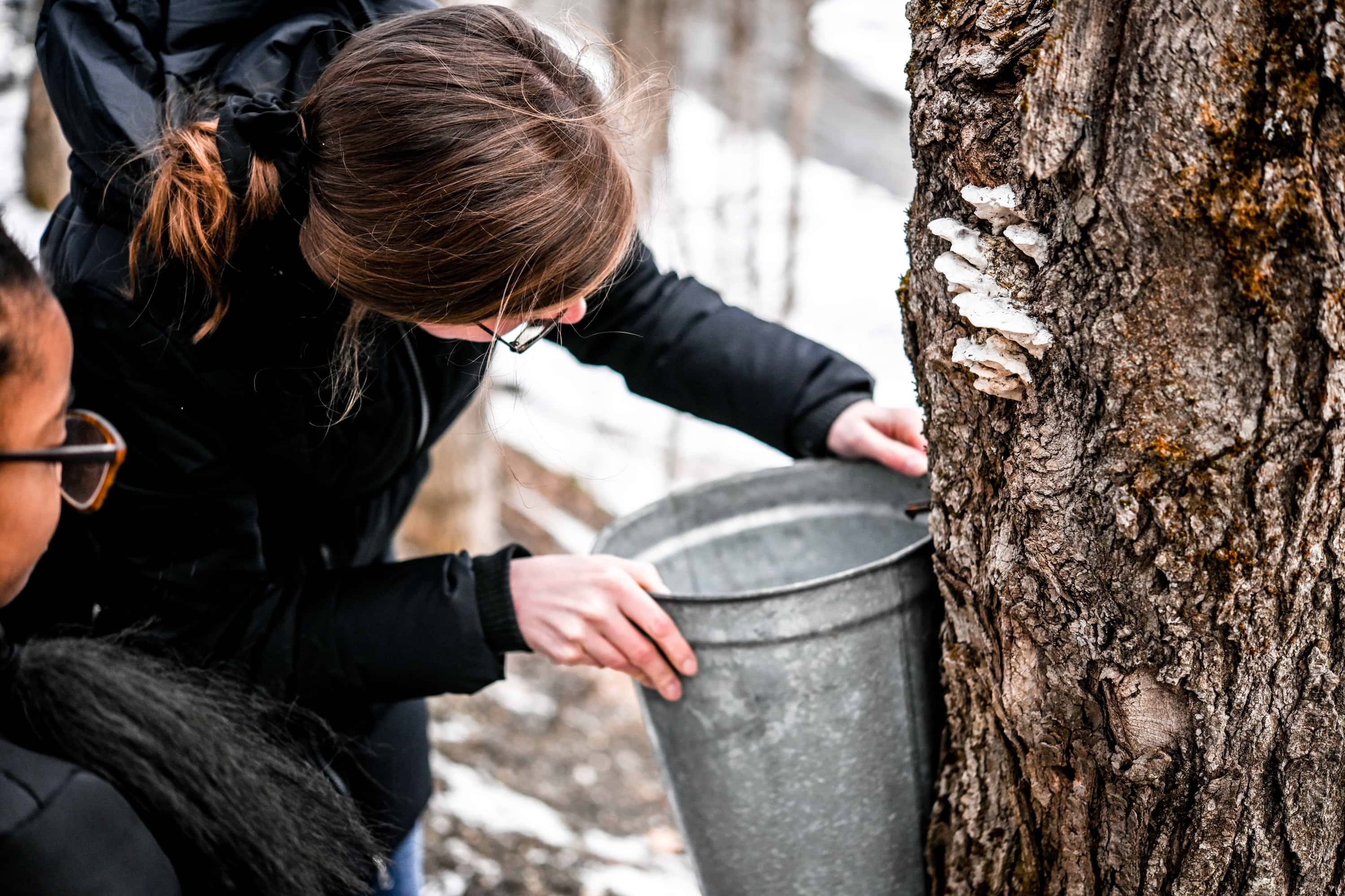 Person affixing bucket to maple tree tap to collect maple sap