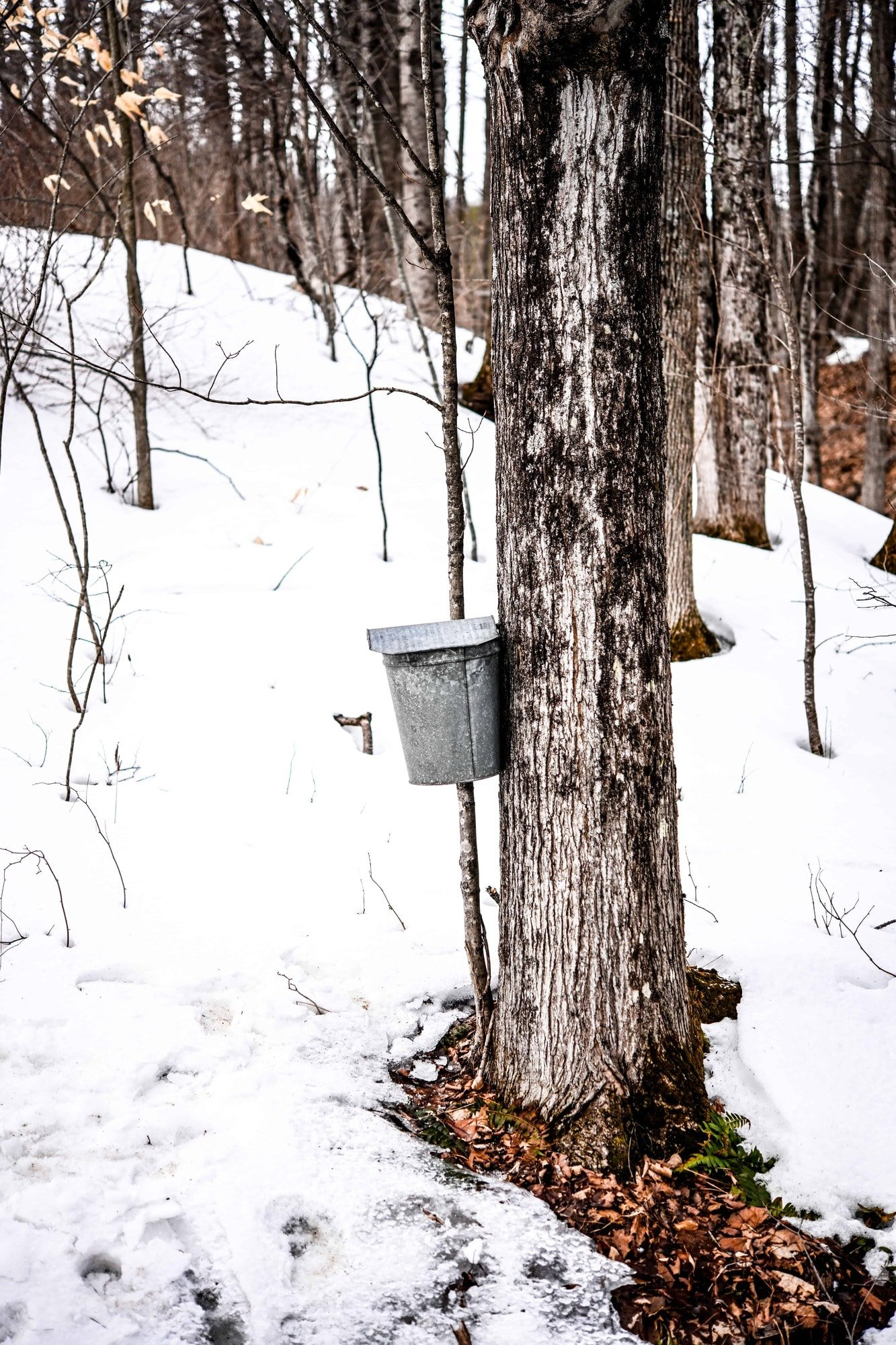A maple tree tapped in winter