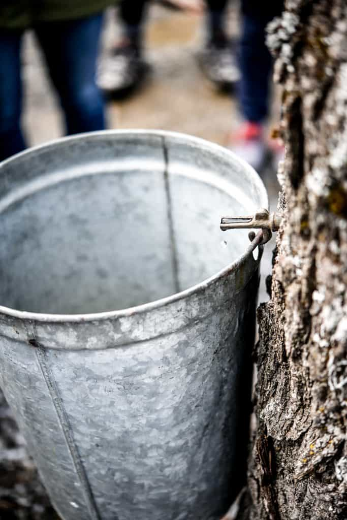 Close up view of maple sap dripping out of a maple tree into a large bucket