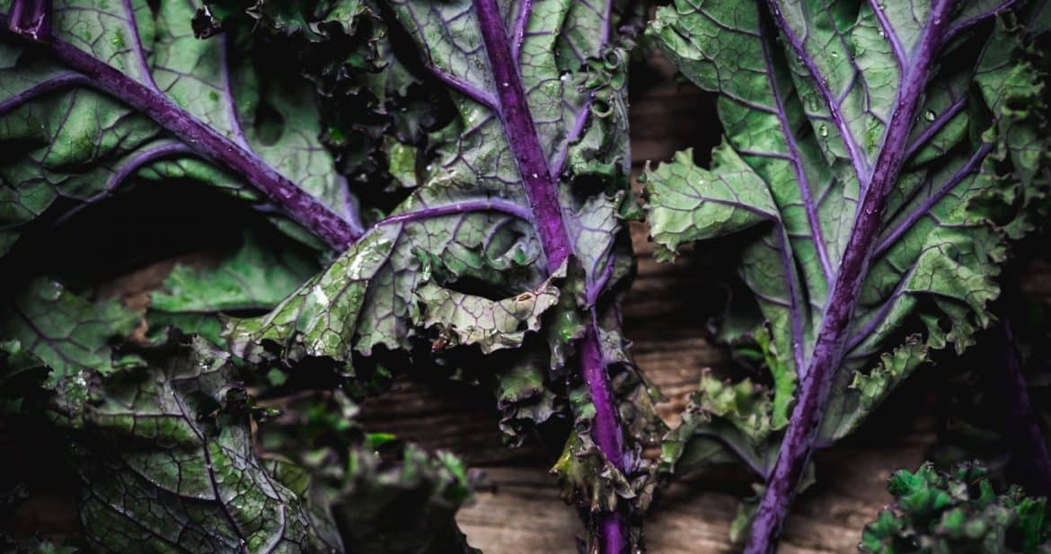 Close up moody photo of purple curly kale with water droplets